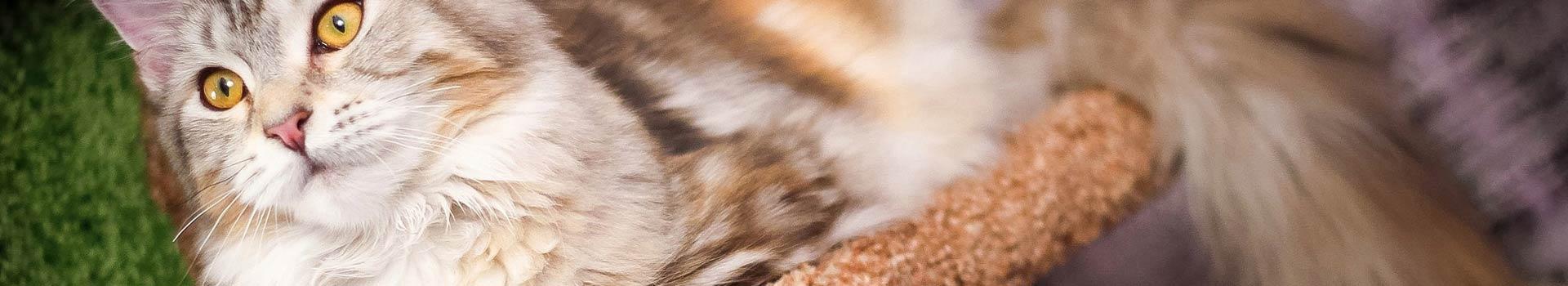 Kratzbaum XXL für grosse Katzen wie Maine Coon